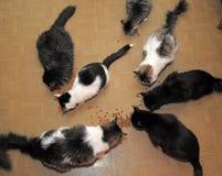 Zeven katten het eten Royalty-vrije Stock Afbeeldingen