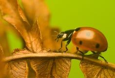 Zeven-onzelieveheersbeestje - Coccinella-septempunctata Stock Fotografie