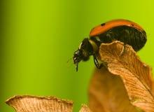 Zeven-onzelieveheersbeestje - Coccinella-septempunctata Stock Afbeeldingen