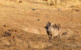 Zeven oxpeckers die op een wrattenzwijn, Namibië zitten royalty-vrije stock foto