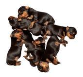 Zeven puppy van Yorkshire Terrier stock afbeeldingen