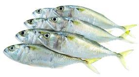 Zeven verse makreelvissen Stock Foto