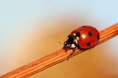 Zeven-vlek onzelieveheersbeestje Stock Afbeeldingen