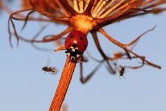 Zeven-vlek onzelieveheersbeestje Stock Foto