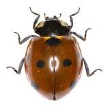 Zeven-vlek Onzelieveheersbeestje op witte Achtergrond royalty-vrije stock foto's