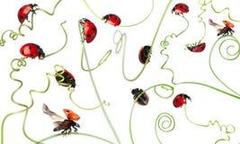Zeven-vlek onzelieveheersbeestje of zeven-vlek lieveheersbeestje Royalty-vrije Stock Foto