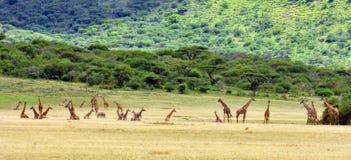Zevenentwintig Giraffen Royalty-vrije Stock Afbeeldingen