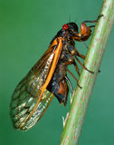 Zeventien-jaar Cicade die Zijn Eieren inspuiten Royalty-vrije Stock Foto