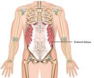 Zewnętrznie pochylony mięśnia 3d medyczny ilustracyjny górny brzuszny mięsień ilustracja wektor