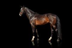 Zewnętrzny piękny koń Odizolowywa na czarnym tle Zdjęcie Stock