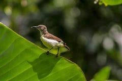 Zeylonica femminile di Leptocoma dell'uccello di Sun Immagini Stock