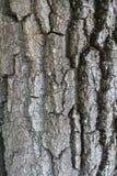 Zgłębia pęknięcia na barkentynie drzewo Obrazy Royalty Free