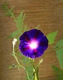 Zgłębia - purpurowego powój Zdjęcia Stock