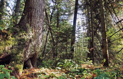 Zgłębia w dzikim lesie Zdjęcie Royalty Free