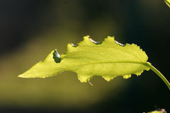 zgłębiony liść światło słoneczne Zdjęcie Royalty Free