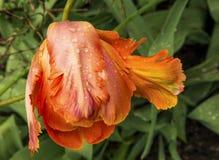zginający tulipan Fotografia Royalty Free