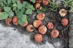 zgniłe jabłka Obraz Stock