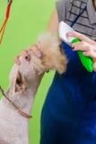 Zgrzywiony włosiany muśnięcie na psiej ` s twarzy Zdjęcia Royalty Free