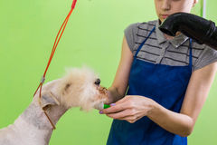 Zgrzywiony włosiany muśnięcie na psiej ` s twarzy Obraz Stock
