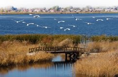 A lot of red-crowned cranes flying in the blue water of the lake. stock photo