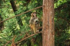 Zhangjiajie, Cina-scimmie Fotografie Stock Libere da Diritti