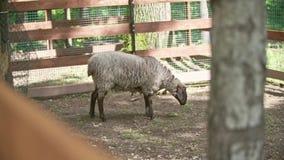 Zheep στο ζωολογικό κήπο απόθεμα βίντεο