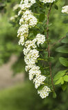 ZhenZhuHua white flowers. Pearl flower posture is graceful, leaf shaped like a willow, flowers as snow, appropriate clump planting lawn corner, forest margins Royalty Free Stock Image