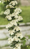 ZhenZhuHua white flowers. Pearl flower posture is graceful, leaf shaped like a willow, flowers as snow, appropriate clump planting lawn corner, forest margins Stock Photography