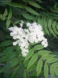 ZhenZhuMei (sorbifolia Sorbaria) Стоковое Изображение RF