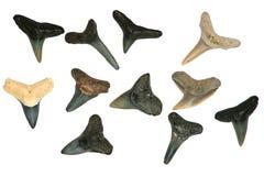 Zähne des versteinerten Haifischs. Lizenzfreie Stockfotografie