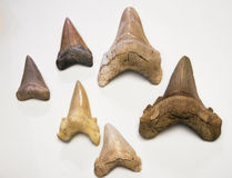 Zähne des weißen Hais Lizenzfreie Stockfotos
