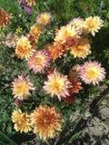 Zhrysanthema στοκ φωτογραφία με δικαίωμα ελεύθερης χρήσης