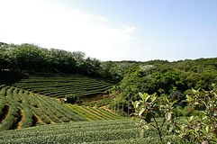 Zhu Feng Tea garden in Taiwan Royalty Free Stock Photography