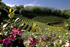 Zhu Feng Tea garden in Taiwan Royalty Free Stock Photos