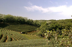 Zhu Feng Tea garden in Taiwan Stock Images