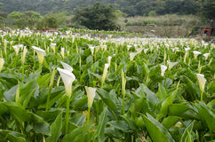 Zhuzihu Calla Lily Festival Stock Image