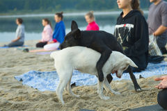 Zhytomyr, Ukraine - August 9, 2015: Stray dog disturb practicing yoga at sunrise. Zhytomyr, Ukraine - August 9, 2015: Group of young people and stray dogs Royalty Free Stock Photos