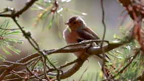 Zięba, Fringilla coelebs, pieśniowy ptak, umieszczający na sosny gałąź z powrotem zaświecał churping podczas jesieni w Scotland zbiory wideo
