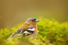 Zięba, Fringilla coelebs, pomarańczowy ptaka śpiewającego obsiadanie na ładnej liszaj gałąź z, mały ptak w natury lasowym siedlis Zdjęcia Stock