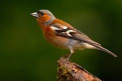 Zięba, Fringilla coelebs, pomarańczowy ptaka śpiewającego obsiadanie na ładnej liszaj gałąź z Zięba mały ptak w natura lesie Zdjęcie Stock