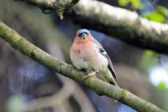 Zięba ptak na gałąź Zdjęcie Stock