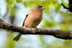 Zięba ptak, ptak na gałąź Zdjęcie Stock
