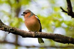 Zięba ptak, ptak na gałąź w parku Zdjęcia Stock