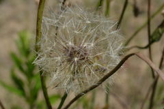 Ziarna śródpolny kwiat w postaci piłki Obraz Royalty Free