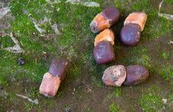 Ziarna Afzelia xylocarpa na cementowej podłoga Obrazy Stock