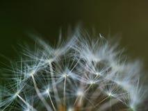 Ziarna dandelion w zakończeniu up Fotografia Royalty Free