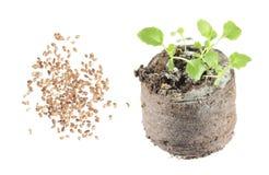 Ziarna i rozsada ringowy bellflower lub Symphyandra wahadła odizolowywający na białym tle Zdjęcie Stock