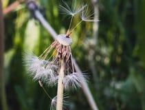 Ziarna przygotowywający odłączającymi i komarnica zdala od kwiatu na lecie fotografia stock