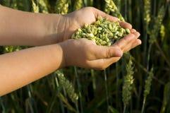 ziarna pszenicy Obrazy Royalty Free