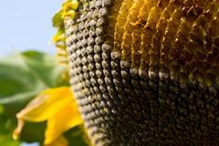 Ziarna słonecznik Zdjęcie Stock